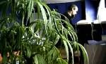Parlamentsmedlem Luke 'Ming' Flanagan med sin kjære cannabisplante